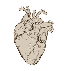 hand drawn anatomically correct human heart vector image