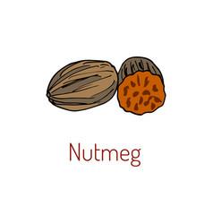 kitchen spices nutmeg hand drawn vector image