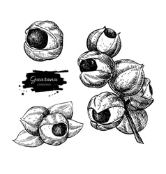 Guarana superfood drawing set Isolated vector