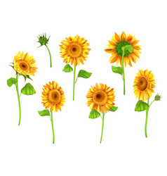 set of sunflower plant isolated on white vector image