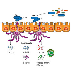 Stimulation of the regulatory t cells vector