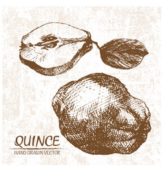 Digital detailed quince hand drawn vector