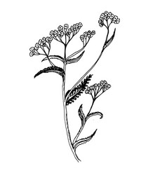 doodle milfoil of medicinal herb vector image