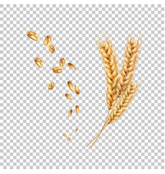 Wheat ears spikelets realistic with grains vector