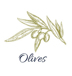 Olive branch with fruit and leaves sketch vector
