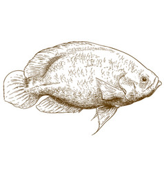 Engraving of oscar fish vector