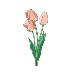Tulip bouquet set isolated vector