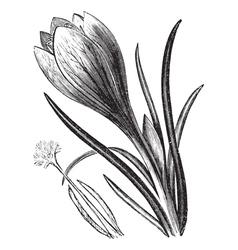 Crocus vintage engraving vector image