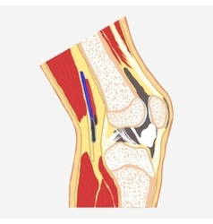 Human knee joint vector