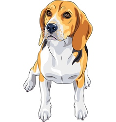 Sketch dog beagle breed sitting vector