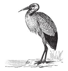 White Stork vintage engraving vector image