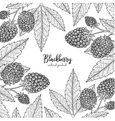 berry engraving with blackberry vector image