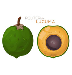 Lucuma fresh fruit vector
