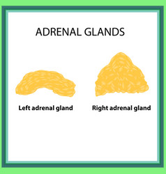 the left and right adrenal gland infographics on vector image vector image