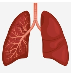 Human Lung anatomy diagram vector image