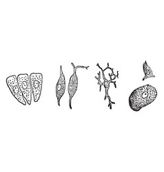 Various forms of cells vintage vector