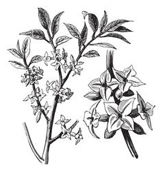 Daphne vintage engraving vector image vector image