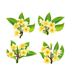 white and yellow plumeria flowers in realistic vector image
