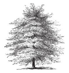 Italian Cypress vintage engraving vector image