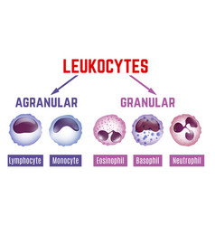 leukocytes scheme image vector image