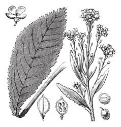 Scurvy Grass engraving vector image vector image