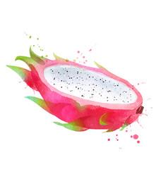 watercolor dragon fruit vector image