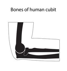 Human cubit bones anatomy vector