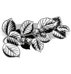 Branch with hazelnuts vector