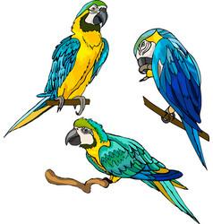 Three macaw parrots vector