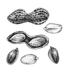Hand drawn peanut set vector