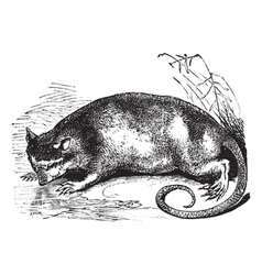 Water Opossum vintage engraving vector