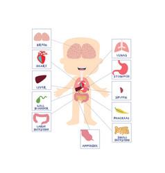 Boy internal human body parts anatomy vector