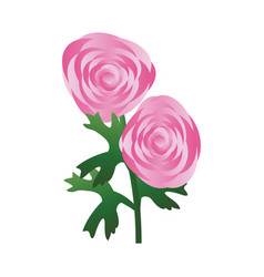 pink ranunculus flowers with green leafs on white vector image