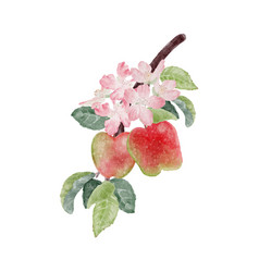 Watercolor apple fruit and bloom flower branch vector