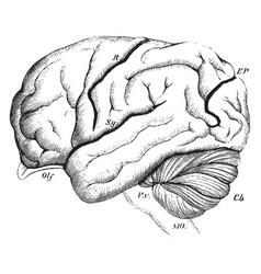 Brain of the orangutan vintage vector