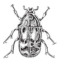 Flower chafer beetle vintage vector