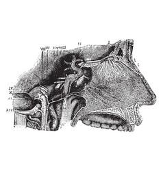 Nerves of the septum nasi vintage vector