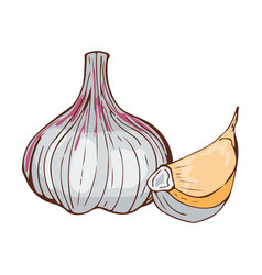 Fresh garlic bulb seasoning hand drawn style food vector