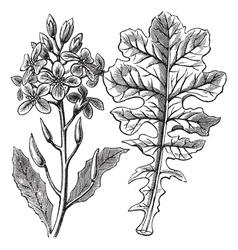 Violet Cabbage vintage engraving vector image vector image