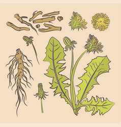 dandelion root pharmacy medical benefits il vector image