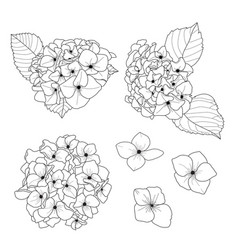 Hydrangea flower draw doodle black and white line vector