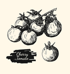 drawing sketch of cherry tomato vector image