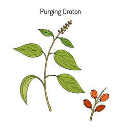 Purging croton medicinal plant vector