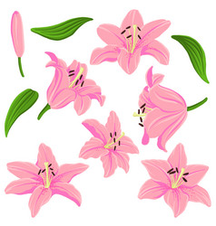 drawing lily flowers and leaves vector image