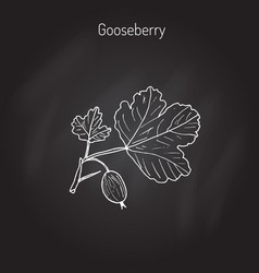 Gooseberry branch vector