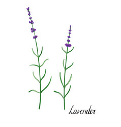 plant of lavender vector image