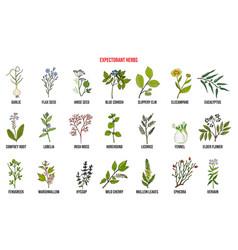 best medicinal expectorant herbs vector image