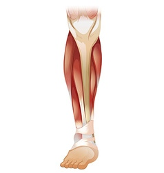 Lower muscle vector image