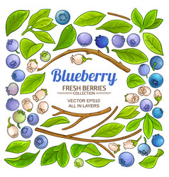 Blueberry plant elements set on white background vector