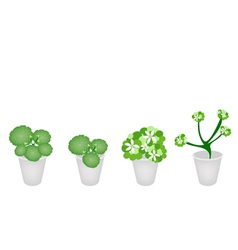 A Set of Asiatic Pennywort in A Flower Pot vector